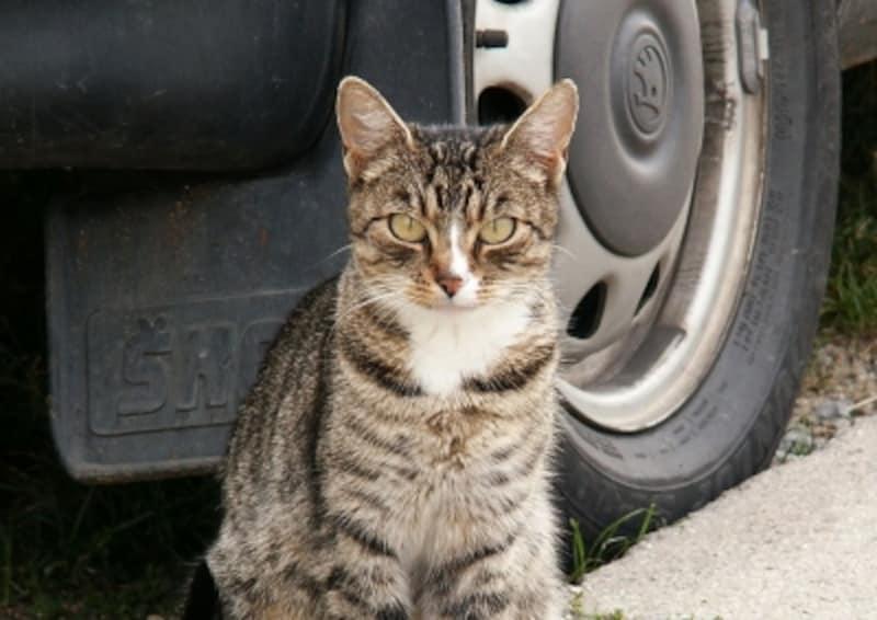 猫が外出することに慣れてから、車に乗せましょう