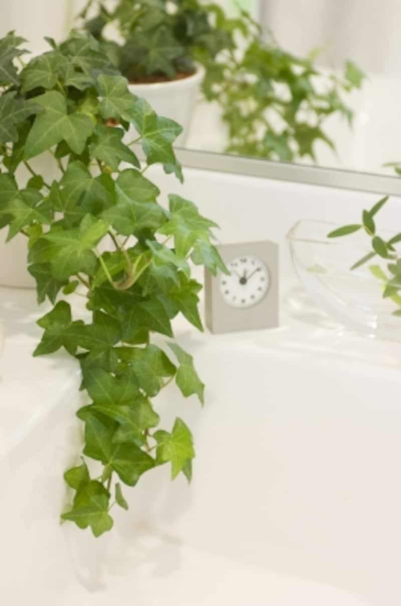洗面所には水場に強いアイビーを飾って。