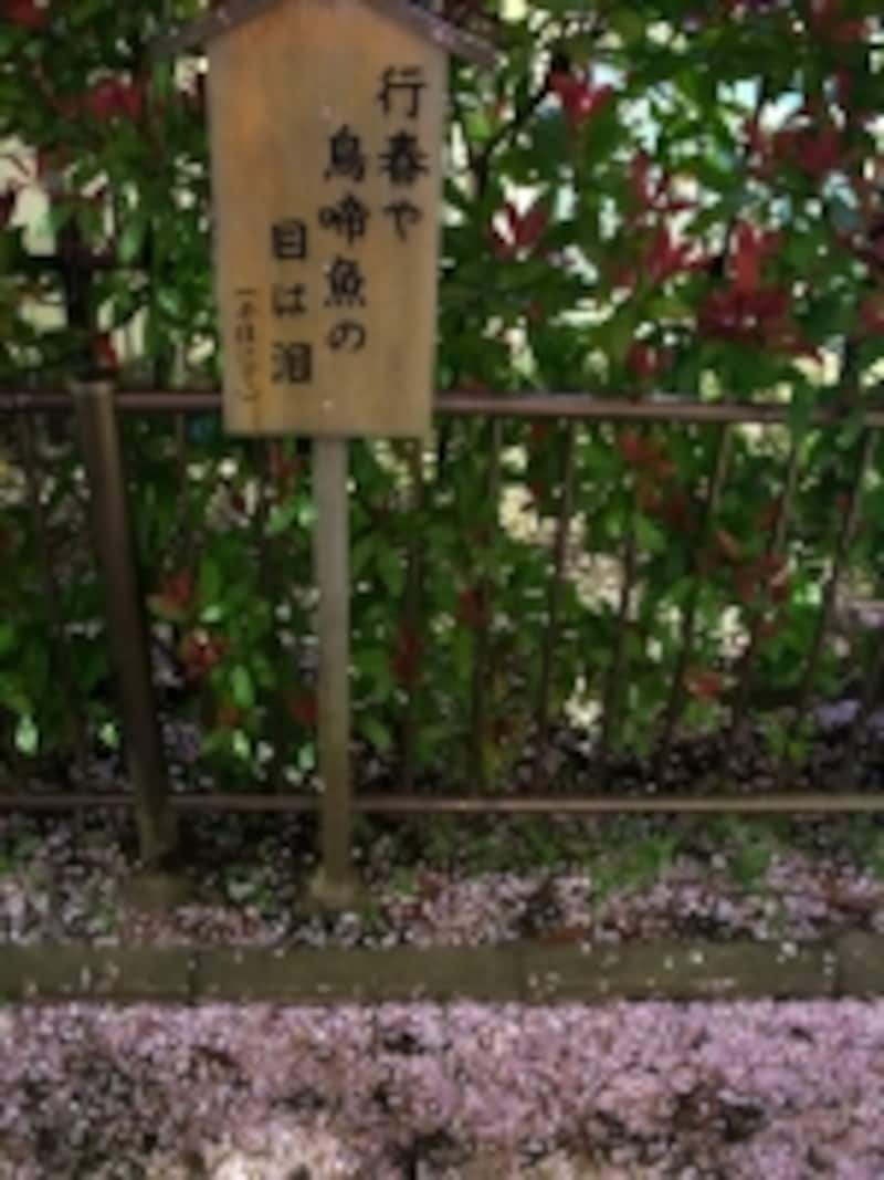 芭蕉の俳句が記された木札と桜