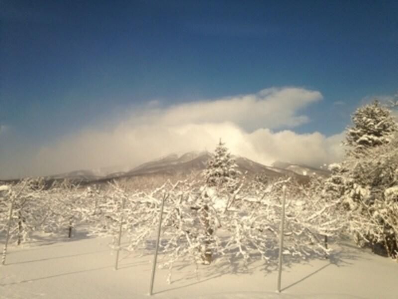 冬の青森のりんご畑。めっちゃ寒いです。