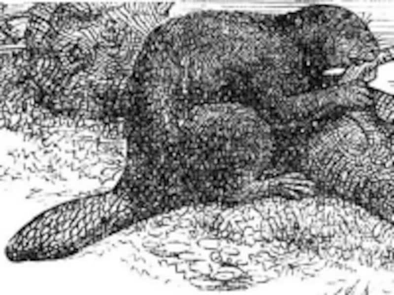 川にダムを作ることで知られるビーバー。その平たい尻尾(テイル)が、この名前の由来