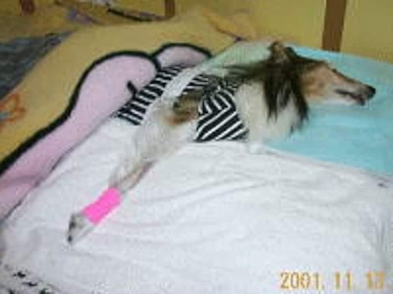 寝たきりとなったシニア犬