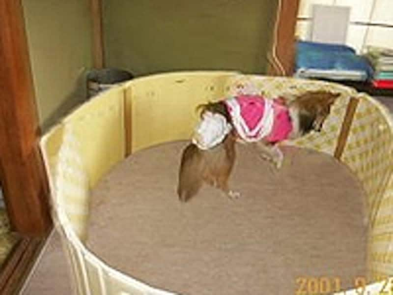 徘徊中のシニア犬