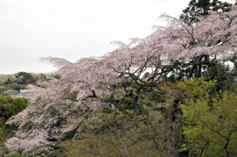扇湖山荘の枝垂れ桜
