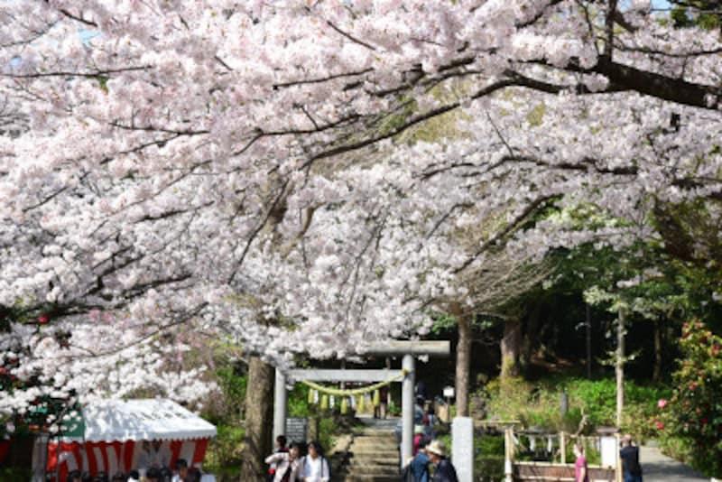 葛原岡神社参道の桜