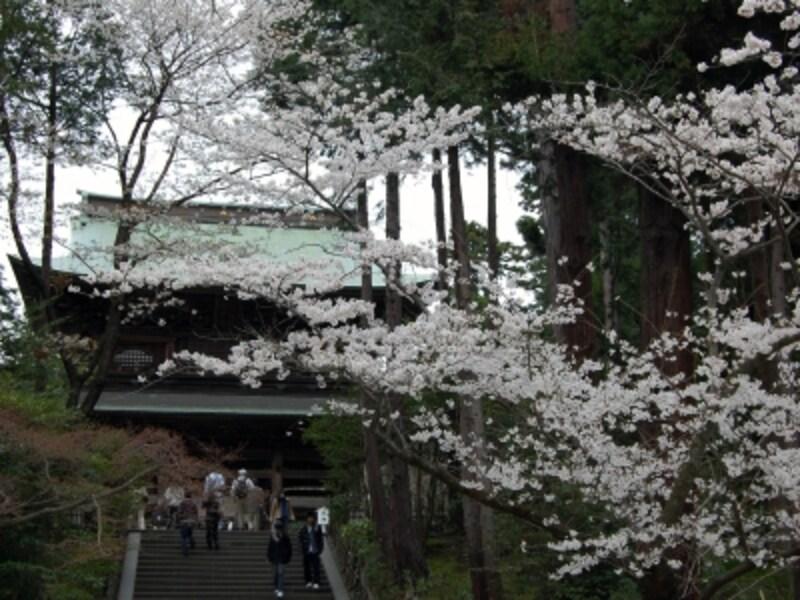 円覚寺undefined山門と桜