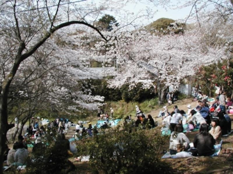 お花見スポットundefined源氏山公園の芝生広場