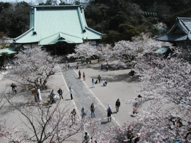 光明寺undefined山門楼上からの桜の眺め
