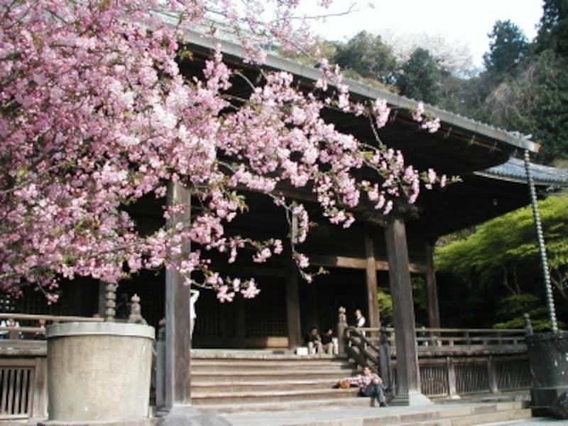妙本寺undefined海棠
