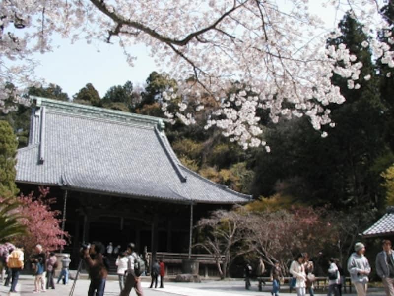 妙本寺undefined桜