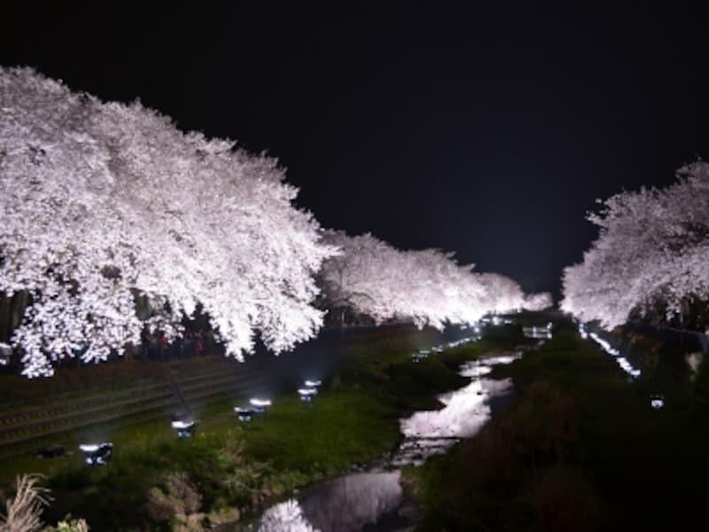 野川の桜ライトアップundefined橋上の視点