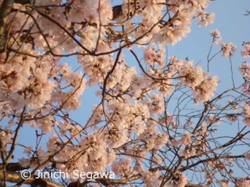 桜写真ステップアップ
