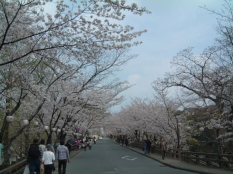 熊本城の桜(2)