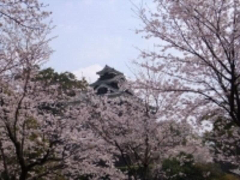熊本城の桜(3)