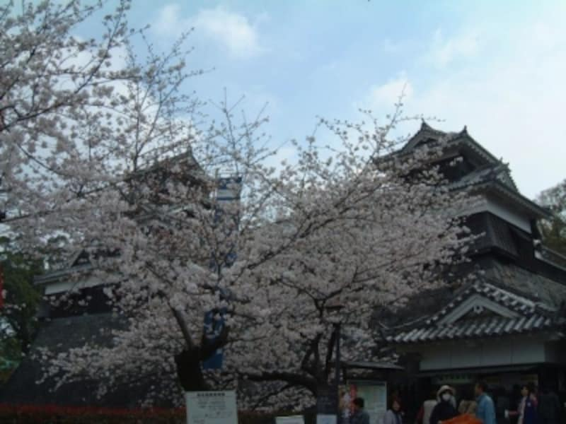 熊本城の桜(5)