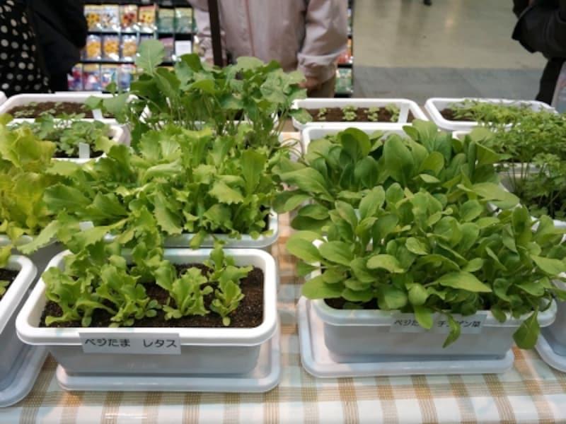 プランターのミニ菜園