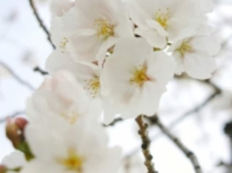 桜の時期は出会いの時期であり、変化の時期