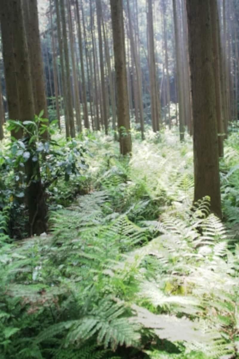 犬懸谷と呼ばれる谷あいの杉林