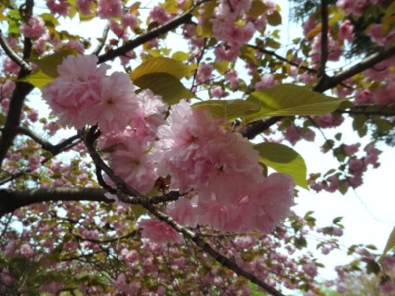 最近では街路樹や公園でもよく見かける。代表的な八重桜。