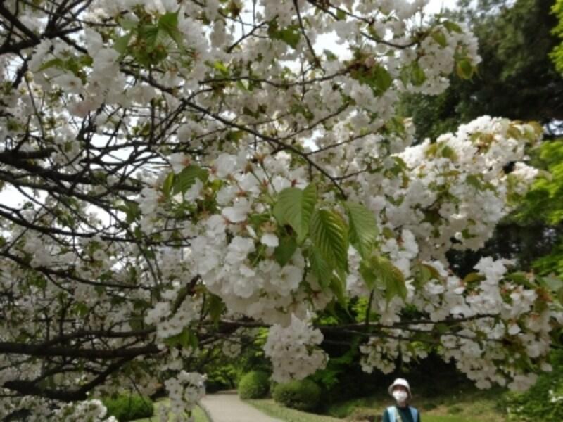 ちょっと上品な感じがする桜だ