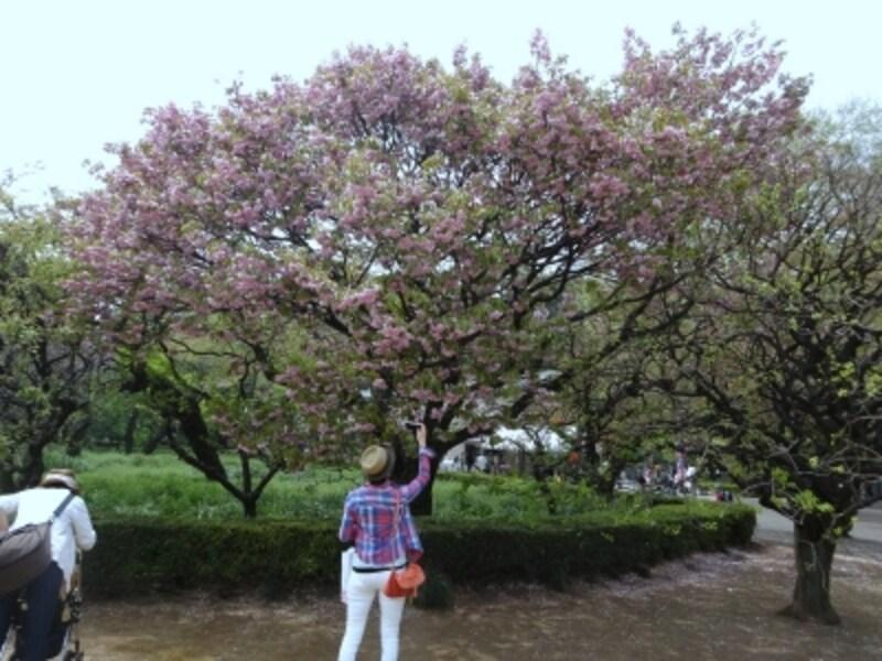 迫力のある桜だ