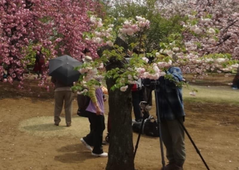 木は低いけれど、花は見事に咲いていた。