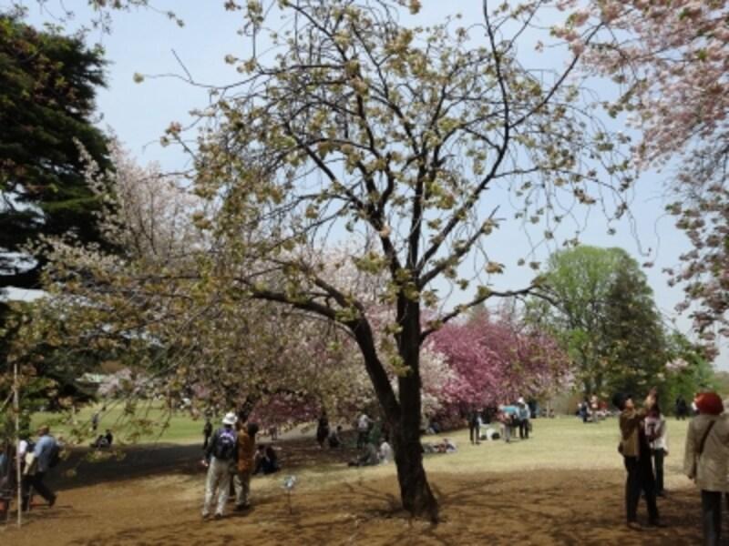 江戸時代中期には京都で栽培されていた