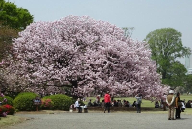 大きな木にいっぱいの花が咲いていた