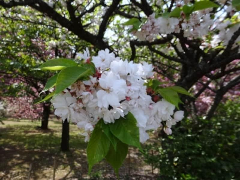 普賢象と同じことに咲く花