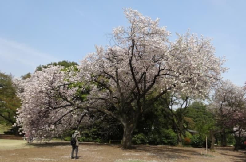 新宿御苑の一葉は10mを超える高木が多い