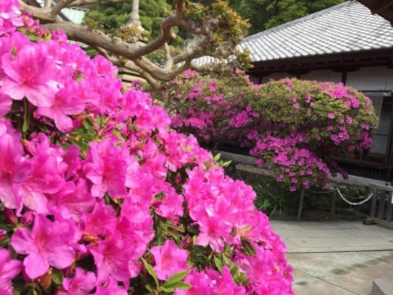 安養院のオオムラサキツツジ。5月上旬に最盛期を迎える
