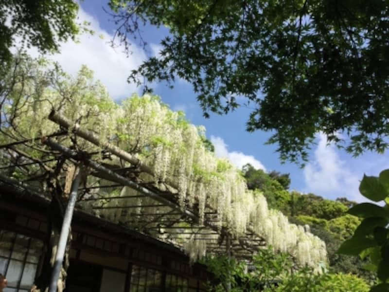 英勝寺の白フジ