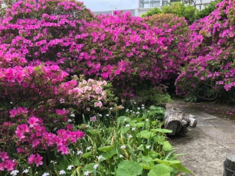 安養院のツツジ(2018年4月24日撮影)