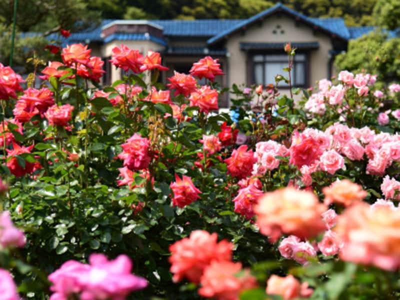 鎌倉文学館のローズガーデン(2015年5月17日撮影)