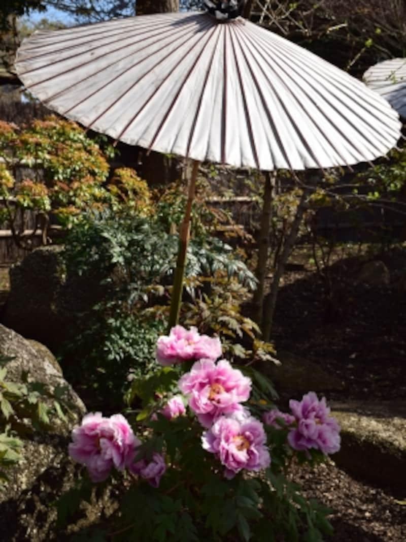 鶴岡八幡宮undefined春ぼたん