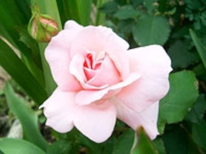 ブライダルピンクは半剣弁高芯咲き