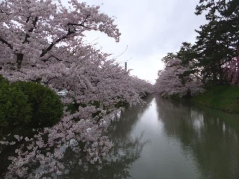 弘前城の桜(3)/外濠を覆う桜