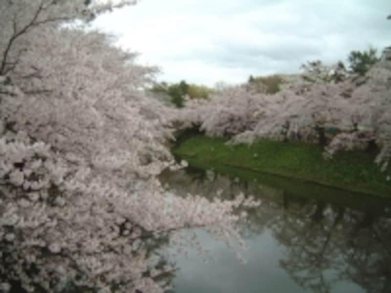 弘前城の桜(6)/中濠にかかる桜