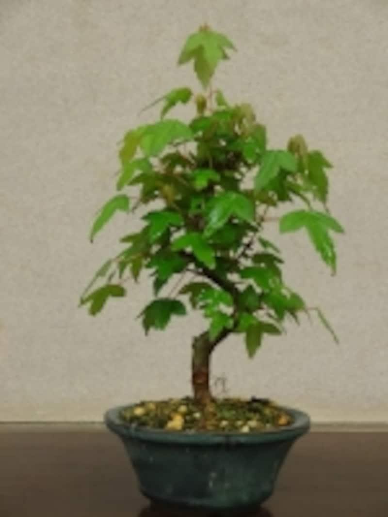 剪定するトウカエデの盆栽undefined剪定前の姿