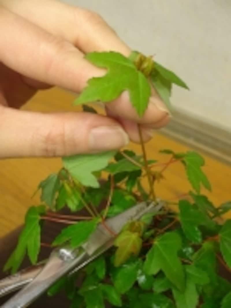 枝を切る時は元気な葉の上で切る