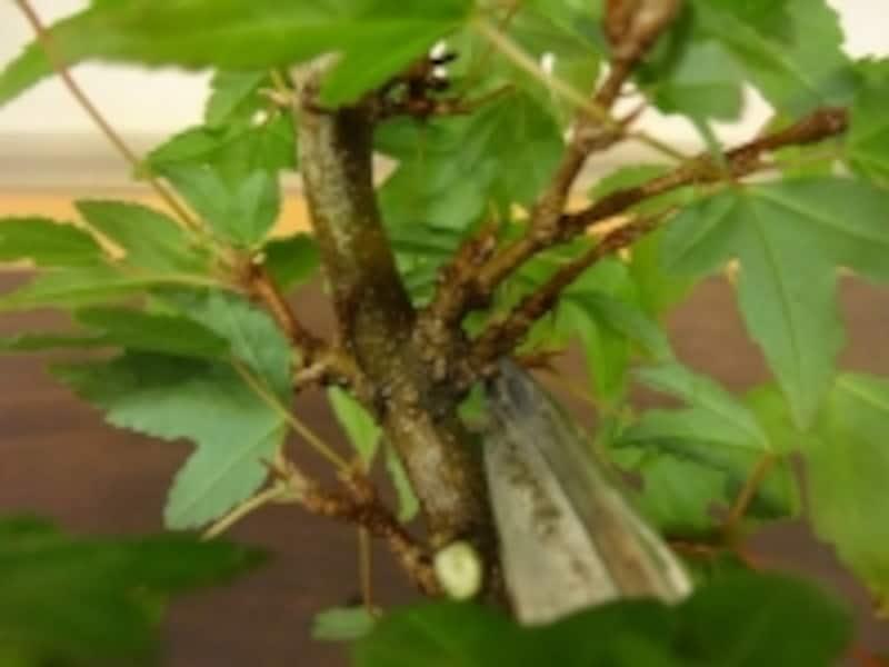 わき枝と呼ばれる切るべき枝です