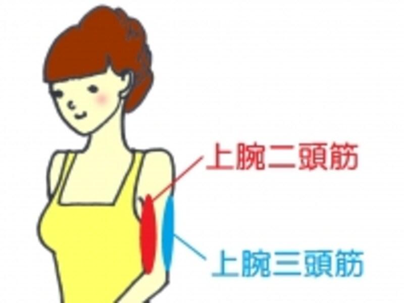 腕の筋肉は大きく分けて2種類