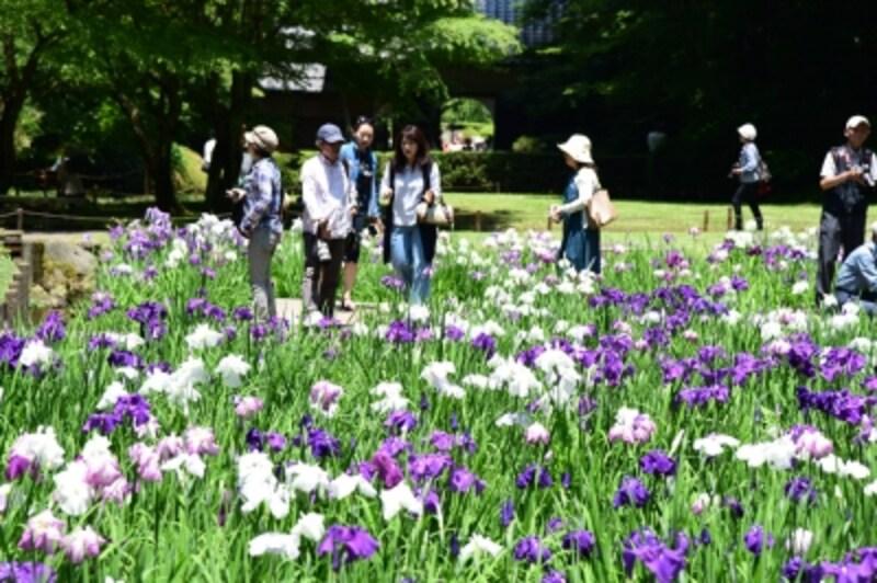 期間限定で公開される本堂後庭園に咲くハナショウブ