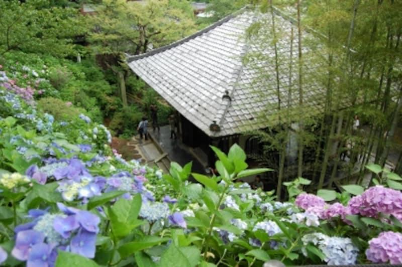 色とりどりの花を咲かせる長谷寺のアジサイ