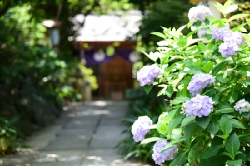 葛原岡神社のアジサイは、源氏山が市街地より少し標高が高いためか、例年やや遅咲きで、6月下旬頃に見頃をむかえる