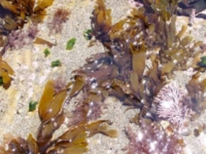 岩盤に海藻が生える様子を観察できる