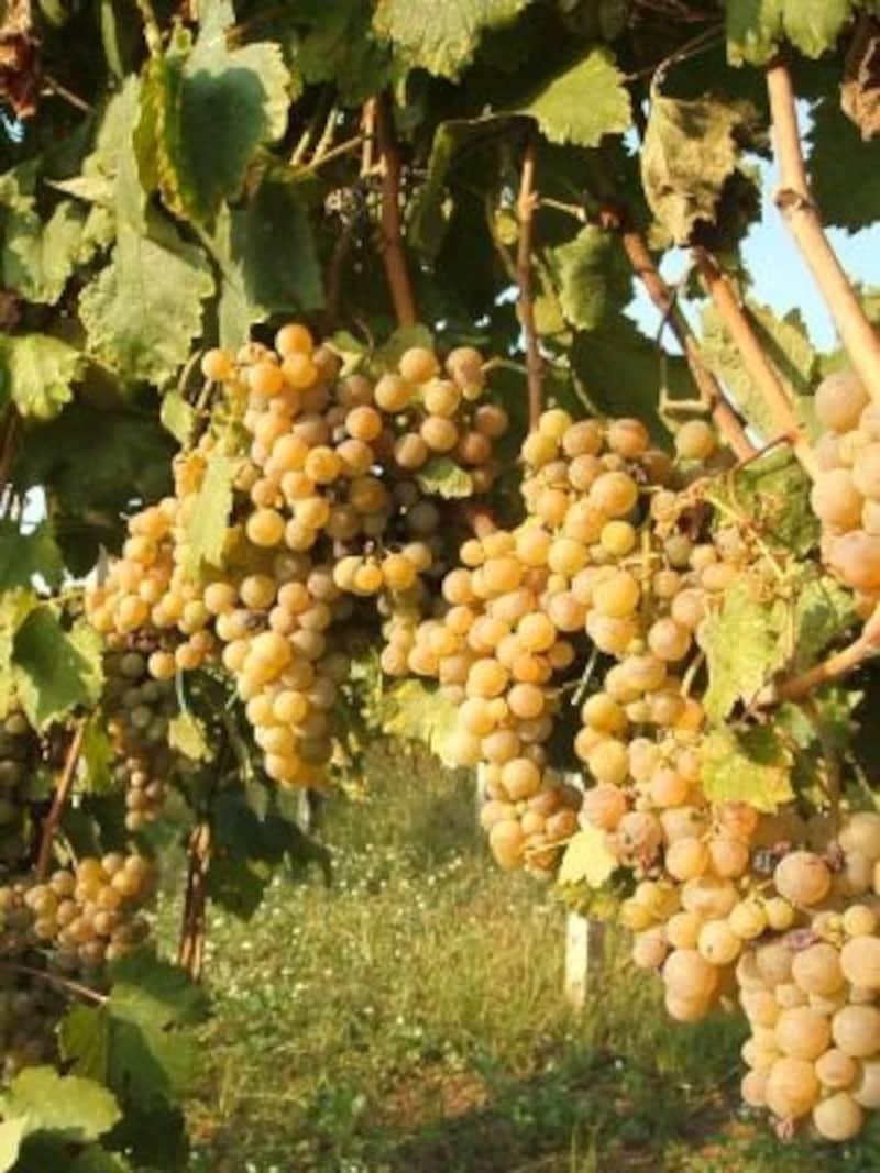 2千種類以上を数える「土着品種」。イタリアでも土着品種のブドウを使ったワインが人気