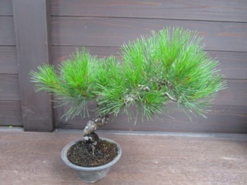 松の盆栽の剪定と育て方を解説~黒松・赤松~