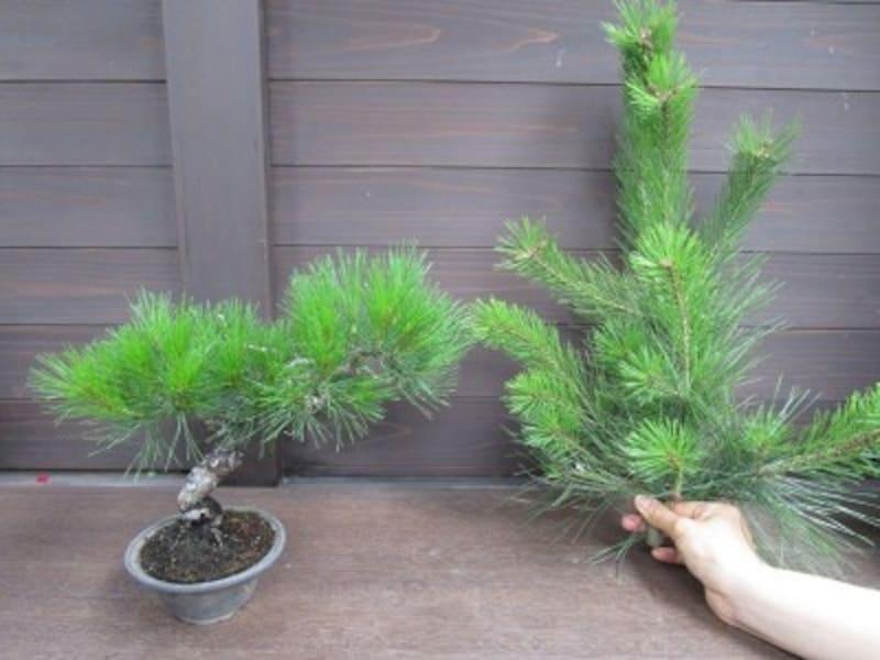 庭木の赤松と葉の比較