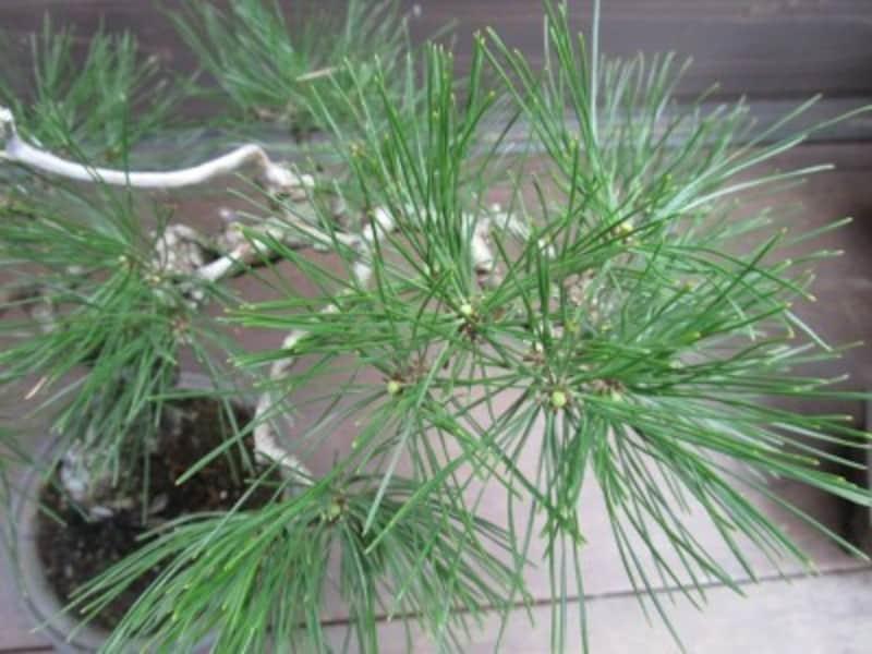 芽切りした後の枝先のアップ